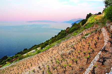 Croatia Wine Yard Peljesac