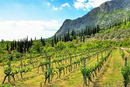 Croatia Konavle Wineyard